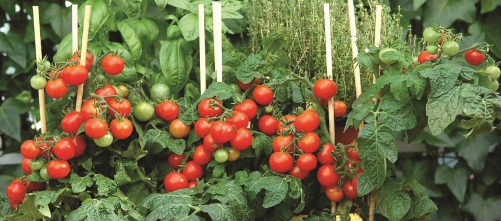 Une expérience alléchante en cours à Kpomassè sur la production de la tomate biologique au bénin.